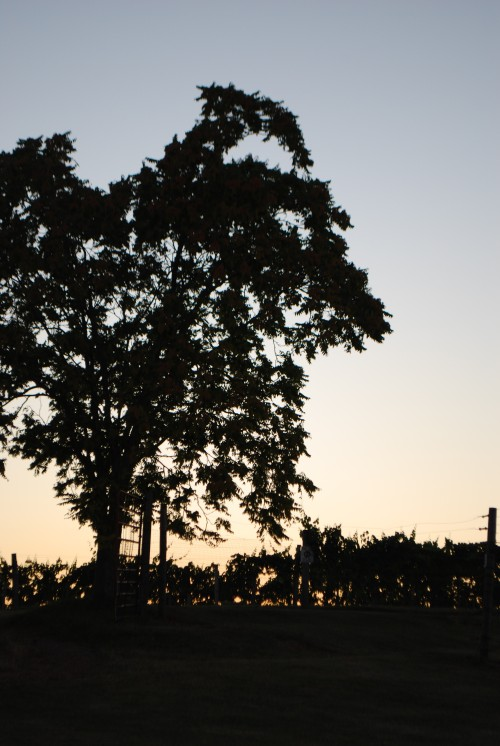 Oaks and full vines silhouetted against the summer sky.