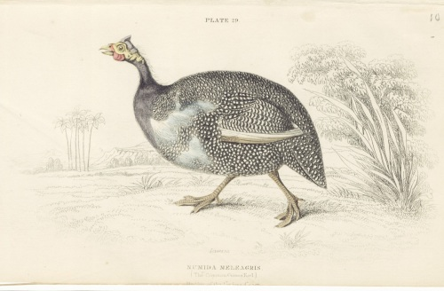 The Guinea Fowl.