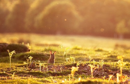 bunny in golden morning spring landscape