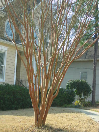 Crape Myrtle After (could still use some thinning out of the inside however)