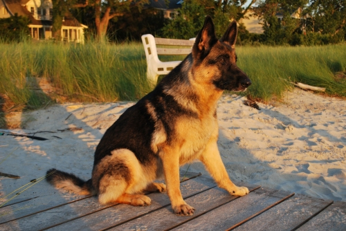 "Alpha in the golden light at the Chesapeake Bay. Happy Birthday ""donkey"""